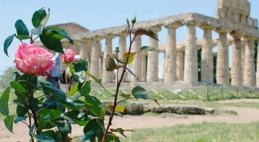 rosa paestum